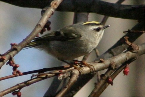 Yellow Crested Kinglet